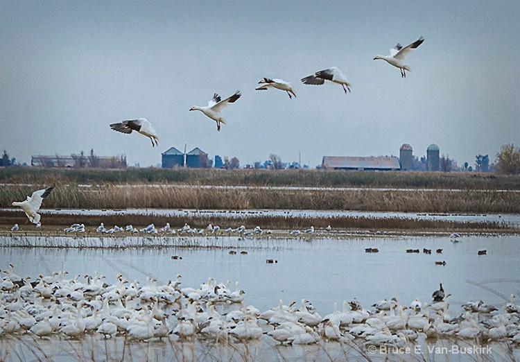 Bird Flight - ID: 15172381 © Bruce E. Van-Buskirk