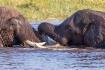 Elephants playing...