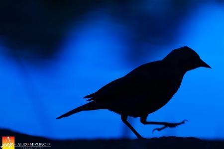 Black Bird in Blue Hour
