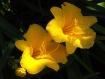 Twin Yellow Flowe...