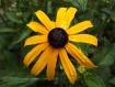 Dark Yellow Flowe...