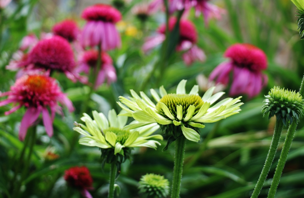 Green and Pink Cone Flowers