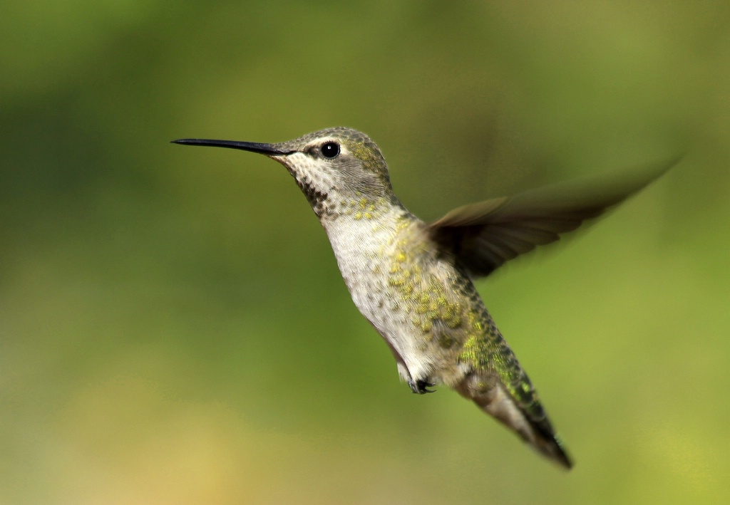 Hovering Hummer - ID: 15187995 © Lynnmarie Daley