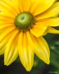White Eyed Susan