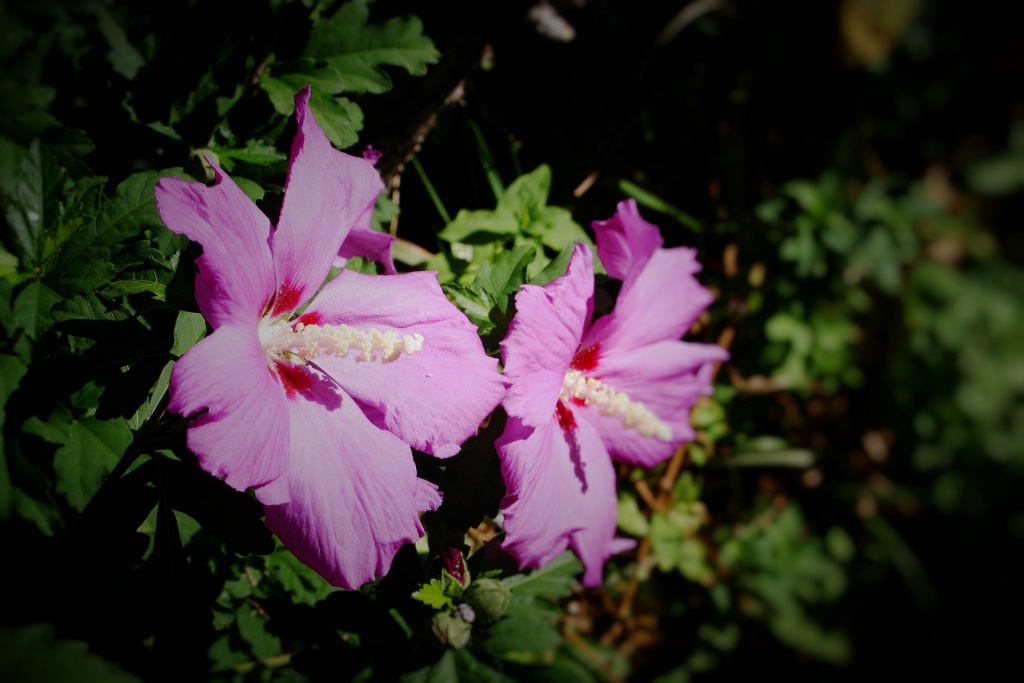 Rose of Sharon - ID: 15195070 © Mary-Anne Benusis
