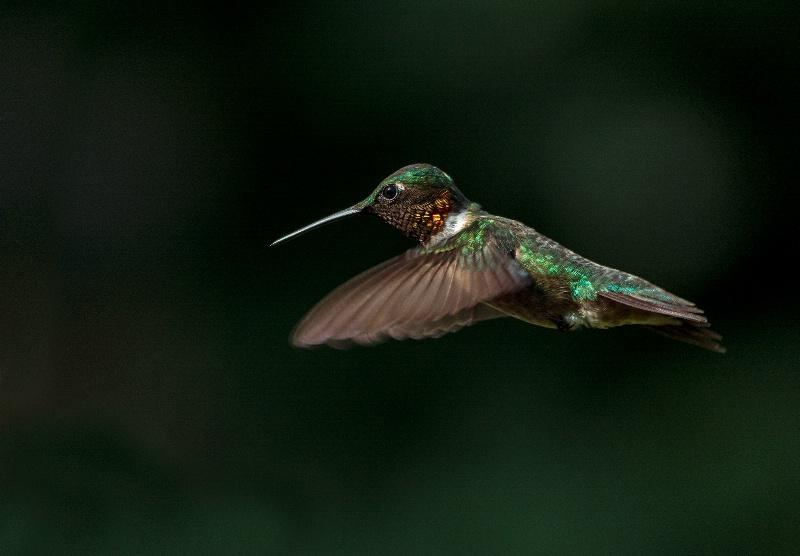 Hummingbird # 11 - ID: 15203257 © Michael Cenci