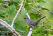 Grey Catbird In A...