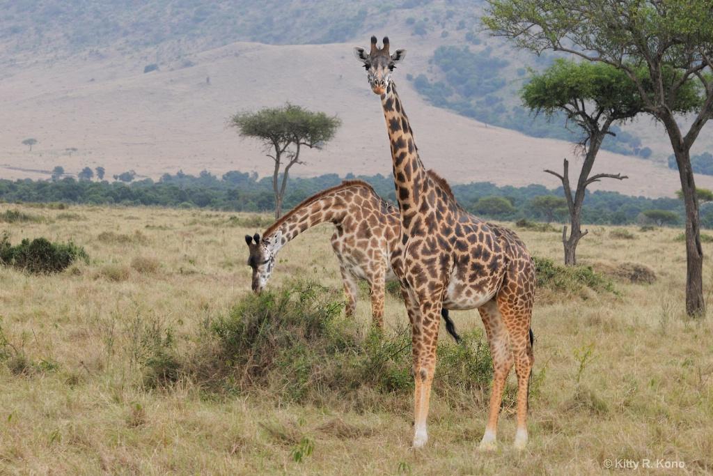 Giraffes in Samburu Kenya - ID: 15222442 © Kitty R. Kono