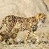 © Wendy Kaveney PhotoID # 15224520: Cheetah and Cub