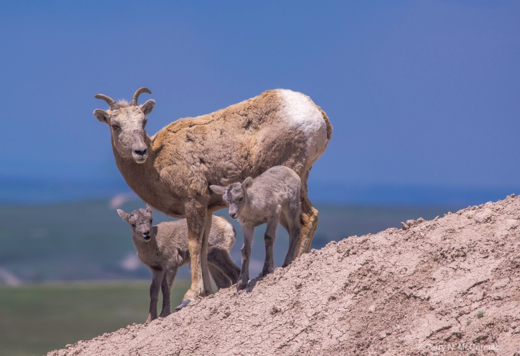 Bighorn Sheep Mother & young - ID: 15225091 © TERRY N. MCCORMAC