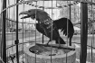 Kenmore Crow