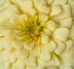 Yellow Zinnia Mac...