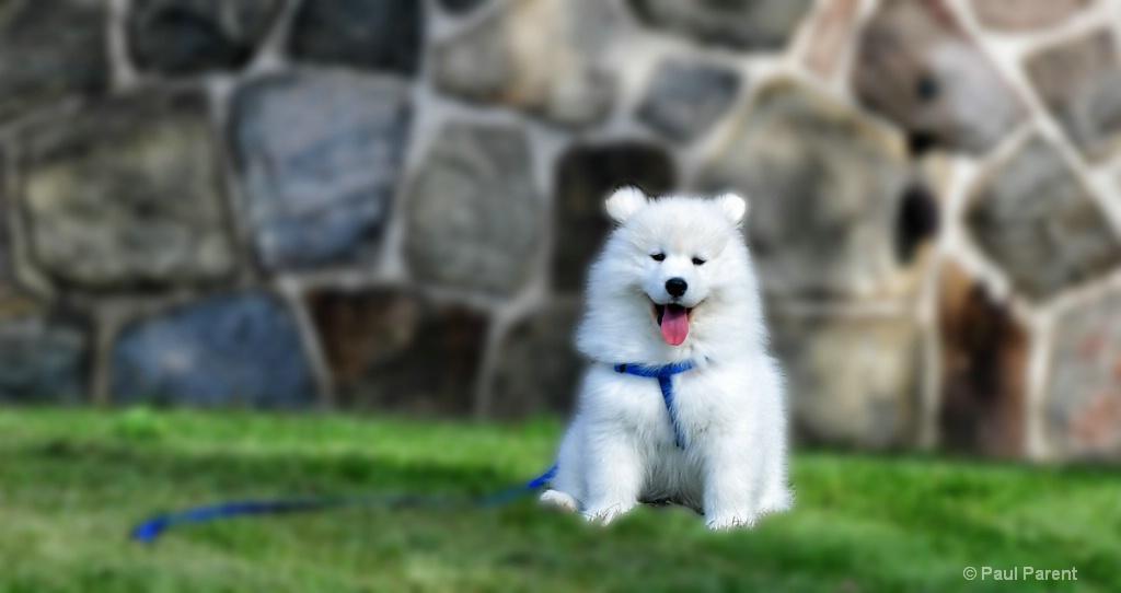 Dexter the Samoyed Dog - ID: 15236374 © paul parent