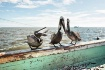 Pelican Toss