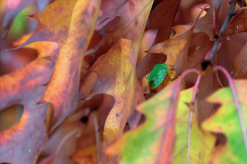 Green Bug and Fall Leaves