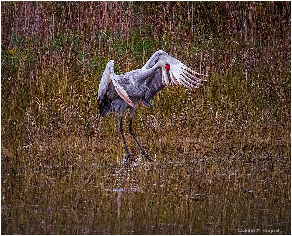 Sandhill Crane Dancing - ID: 15261727 © John A. Roquet