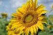 Sun Flowers 2016