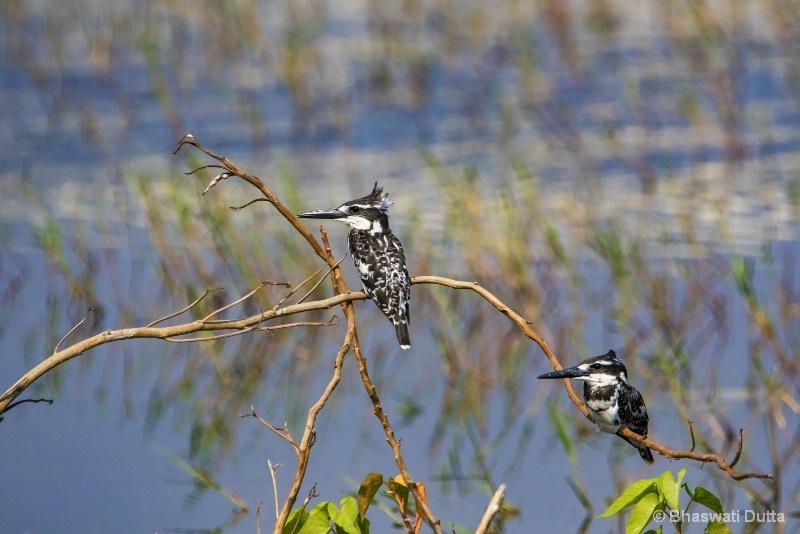Pied Kingfisher
