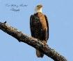 Eagle  In  Backya...