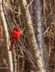 Cardinal in woods