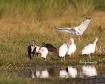 White Ibis Cleani...