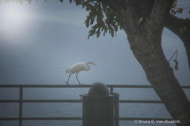 Egret walking on a pole - ID: 15282600 © Bruce E. Van-Buskirk