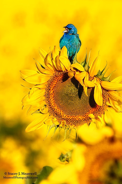 Indigo Bunting at Pope Farm Sunflower Fields - ID: 15283233 © Stacey J. Meanwell