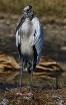 Wood Stork 2016