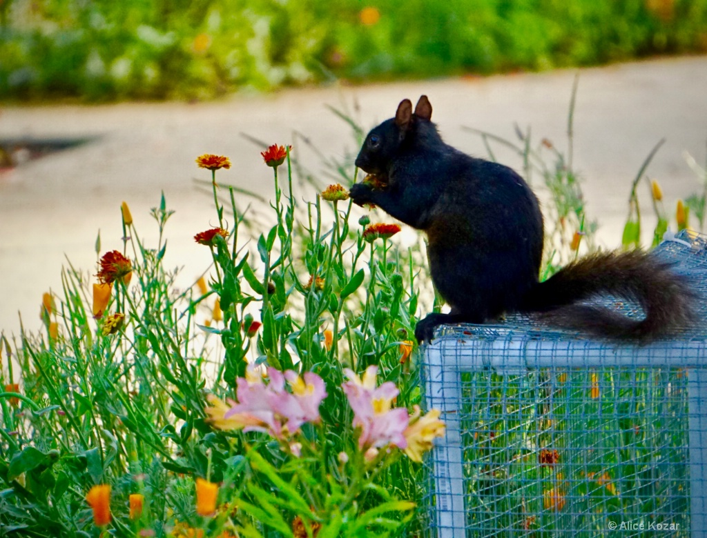 Hope No One Disturbs my Marigold Patch - ID: 15299489 © Alice Kozar
