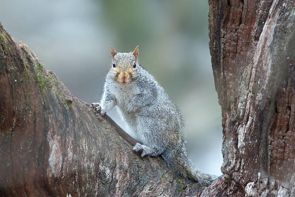 Dirty Little Squirrel - ID: 15302509 © Kitty R. Kono