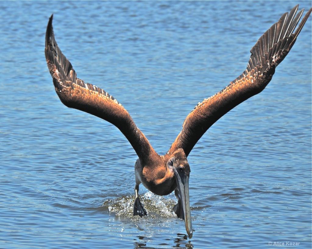Pelican Landing - ID: 15308313 © Alice Kozar