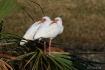 Twin Ibis