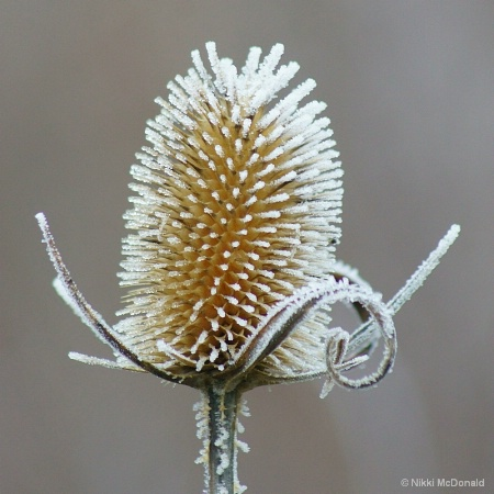 Frosted Teasle