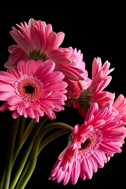 Gerbera Daisy - ID: 15309685 © Dreaming Tree Galleries