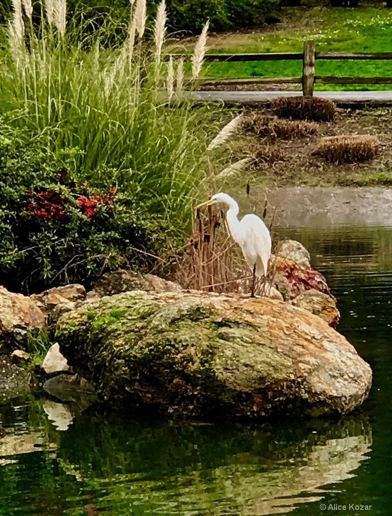 Migrating Giant  Egret - ID: 15310119 © Alice Kozar