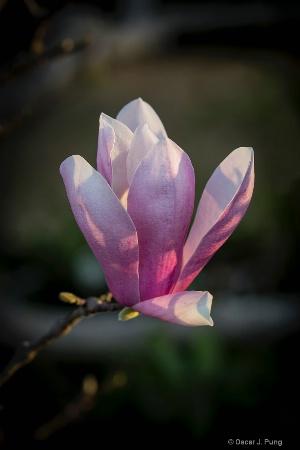 Oriental Magnolia at Sunrise