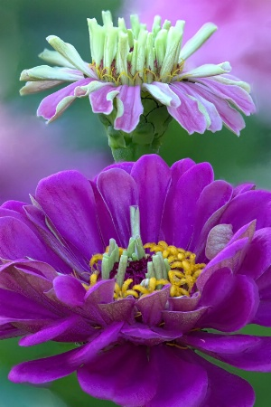 Purple Duo