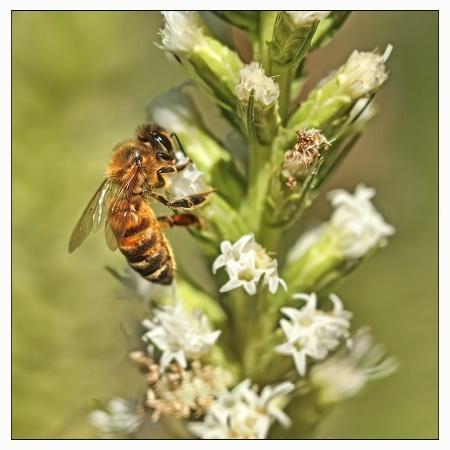 honeybee on blooms