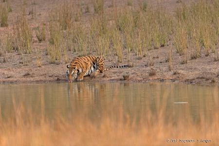 Thirsty tigress !