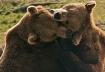 Brown Bears at Pl...