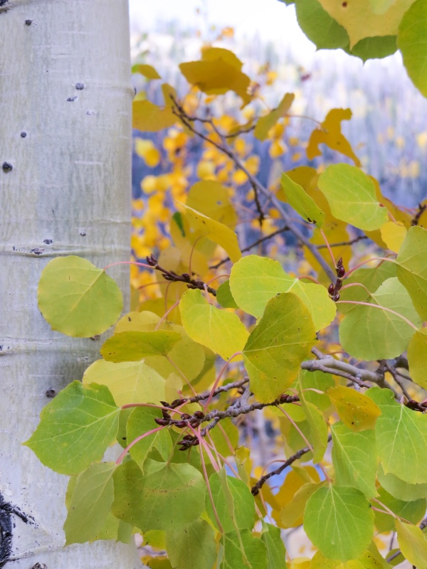 Aspen aglow - ID: 15329280 © Nancy Auestad