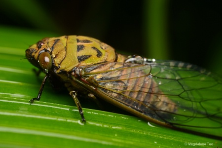 Cicada with Wet Wings