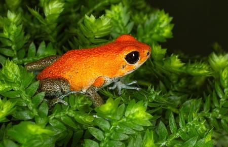 Orange Dart Frog