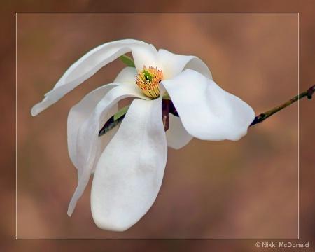 Magnolia Grace