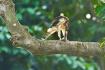 Juvenile gohawk b...
