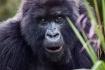 Mountain Gorilla,...