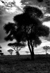 Acacia Forrest, T...