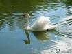 Swan - Napa Valle...
