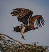 Vulture, Tanzania