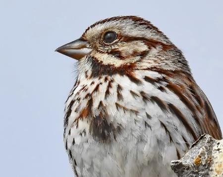 The Dainty Song Sparrow